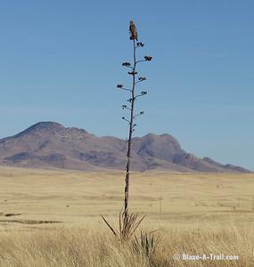 A hawk perched on a yucca plant near Sonoita, Arizona