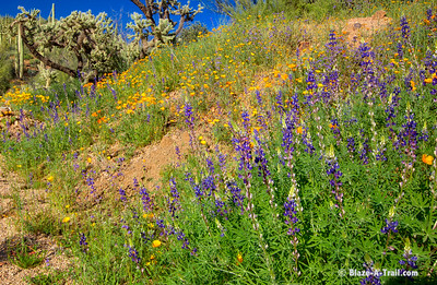 Sonoran Desert Spring Wildflowers