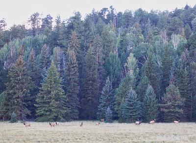 An elk herd with a 6x6 Bull.