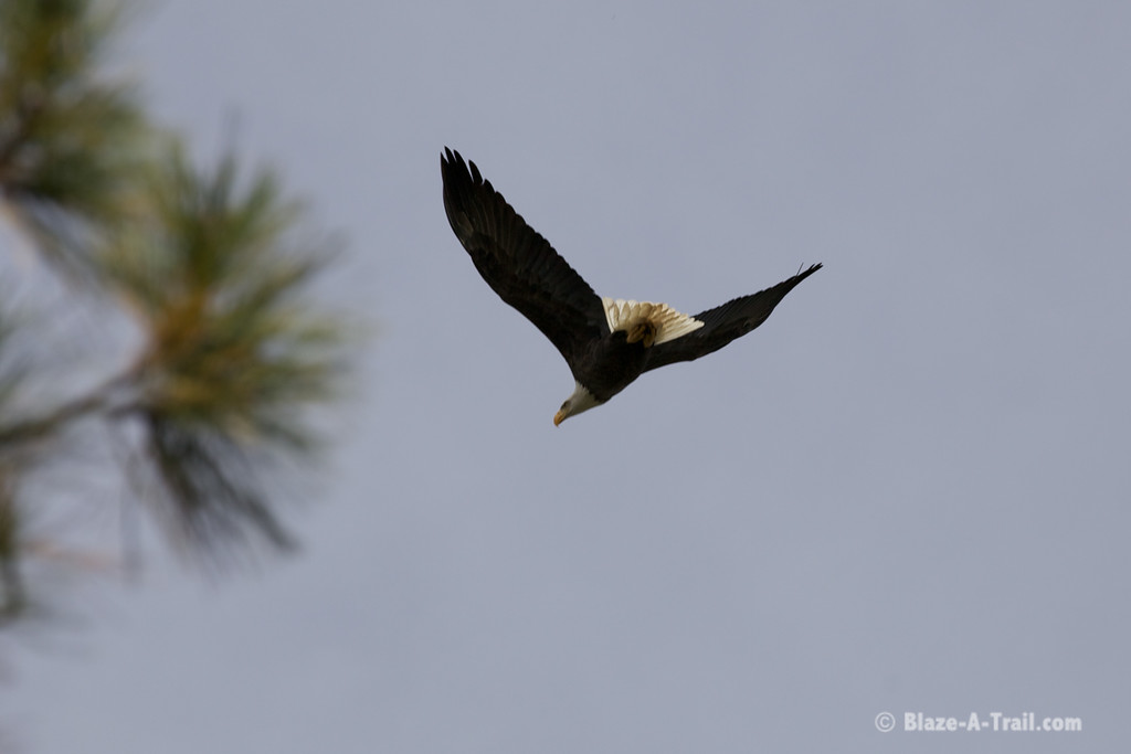 Bald Eagle in the White Mountains at Lake of the Woods, Pinetop (October 2014)