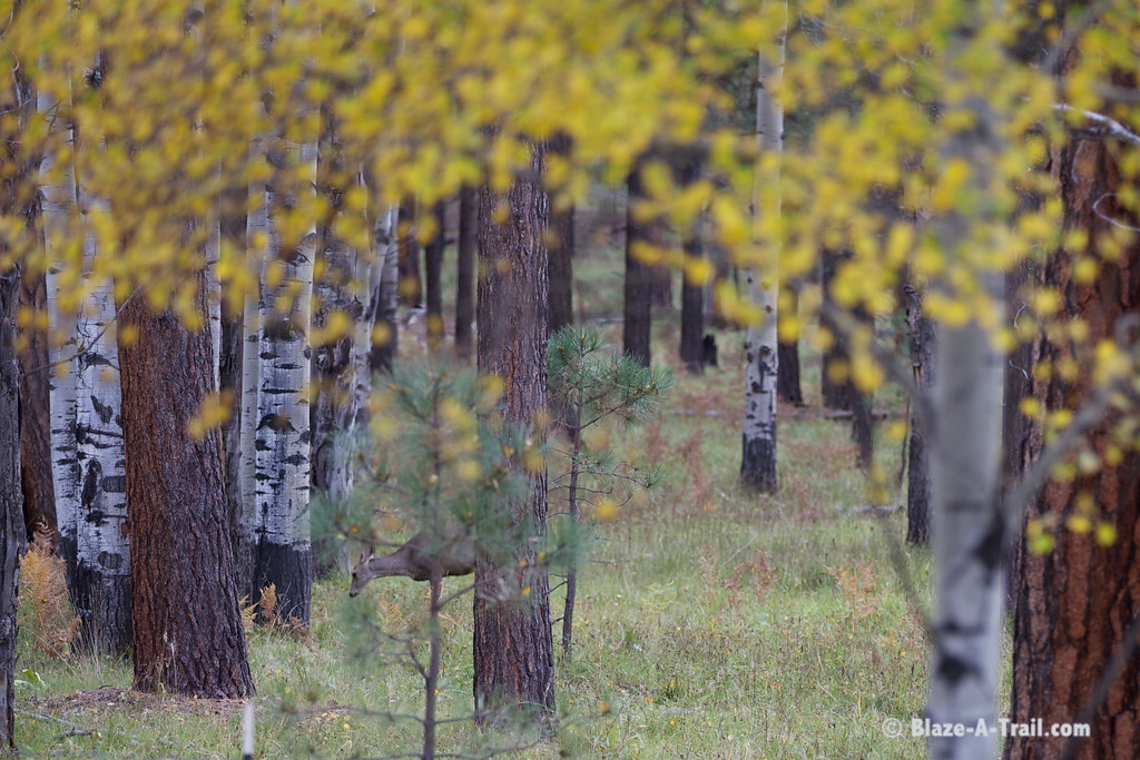 Fall Colors are abundant along forest roads between Pinetop and Hannagan Meadows, White Mountains (October 2014)