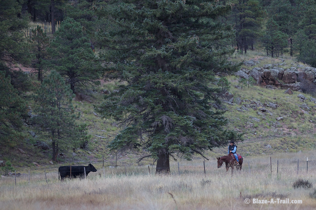 Cattle Rancher along forest road in White Mountains near Hannagan Meadows
