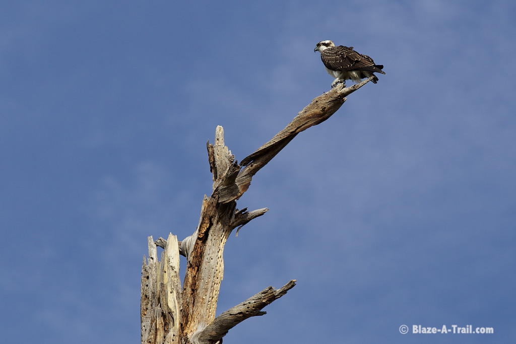 Osprey in the White Mountains at Lake of the Woods, Pinetop (October 2014)