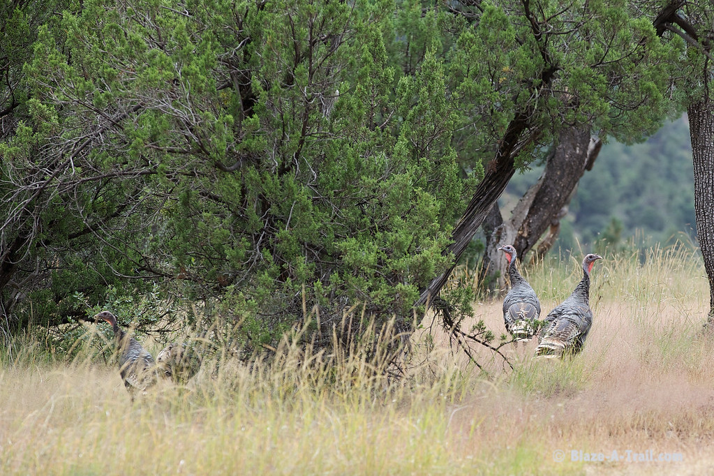 Wild Turkeys along primitive forest roads to Blue, Arizona along the New Mexico border (October 2014)