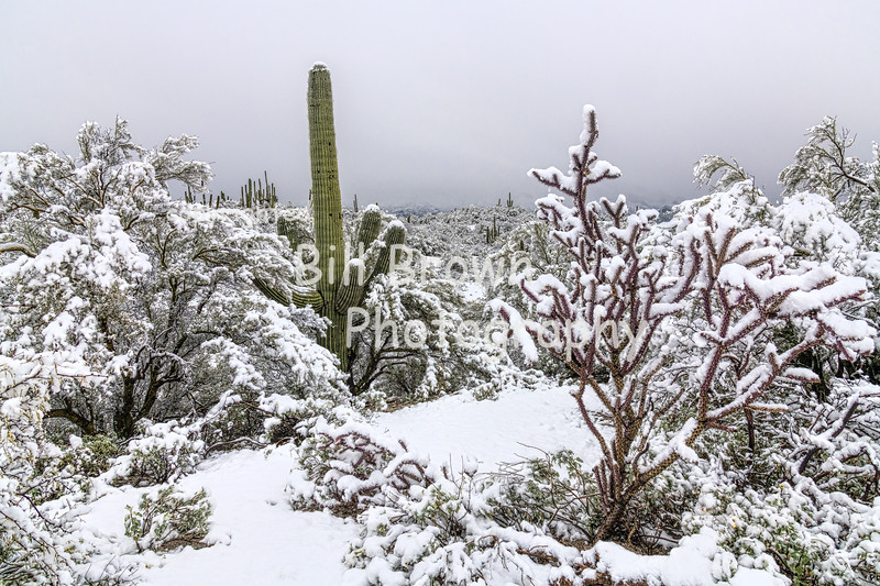 Cacti Covered in Snow