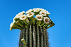 Saguaro Bloom