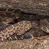 Arizona Black Rattlesnakes at Main Den
