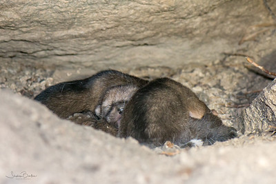 Four coyote puppies in their den, about 2 weeks old.