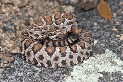 Juvenile Arizona Black Rattlesnake