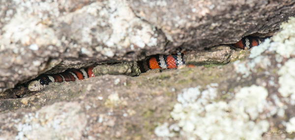 Sonoran Mountain Kingsnake in situ