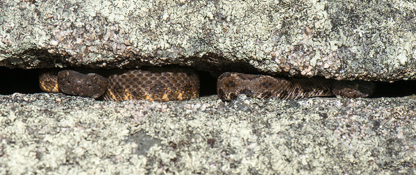 Arizona Black Rattlesnakes in a vertical crack