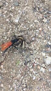 Tarantula Hawk dragging its paralyzed tarantula back to its burrow.