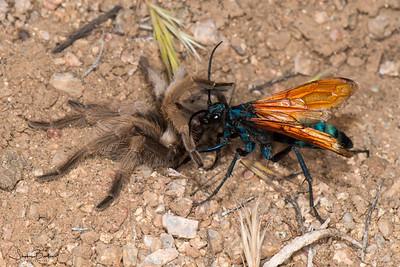 Tarantula Hawk, a wasp, dragging its paralyzed tarantula