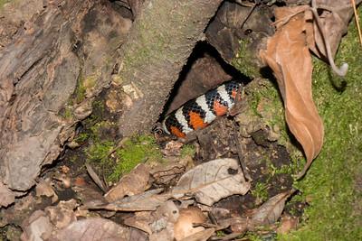 Mountain Kingsnake, Lampropeltis knoblochi, after release