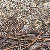 Juvenile Arizona Black Rattlesnake in ambush posture