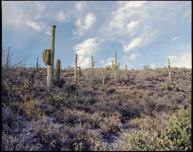 Saguaros On The Hillside