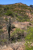 Here's a lone Suguaro hanging out with the Ocotillos, which are just beginning to leaf out at this elevation.