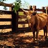One of Cowboy Jeff's herd.