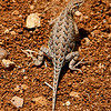 Horny Toad.