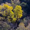 Sycamore Trees in Arizona's Josephine Canyon.