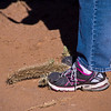 Jumping Cholla stuck to shoes.