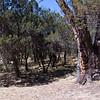 Old tree at Juniper Flat.