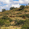 Beef cattle minding their own business in southern Arizona.