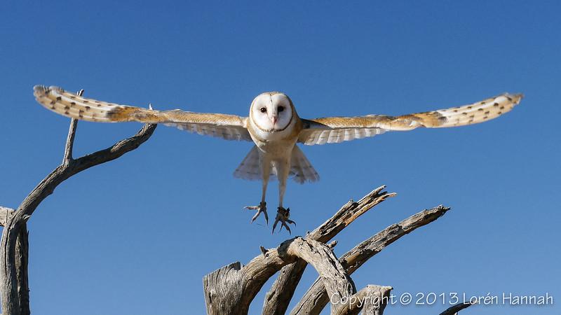 Barn Owl - ASDM - P9890004