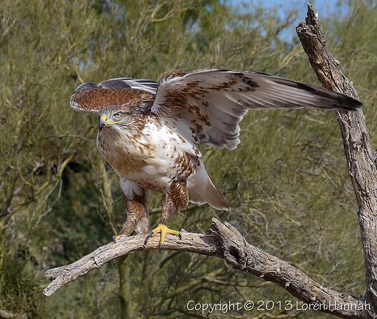 Ferruginous Hawk - ASDM - P9850686