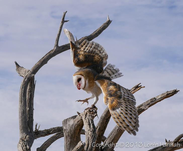 Barn Owl - ASDM - P9860012