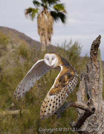 Barn Owl - ASDM - P9850982