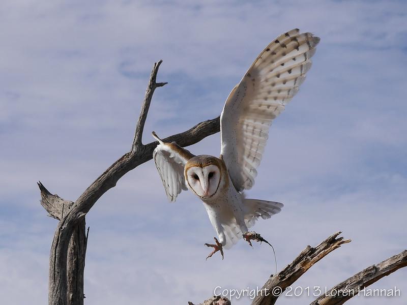 Barn Owl - ASDM - P9860006