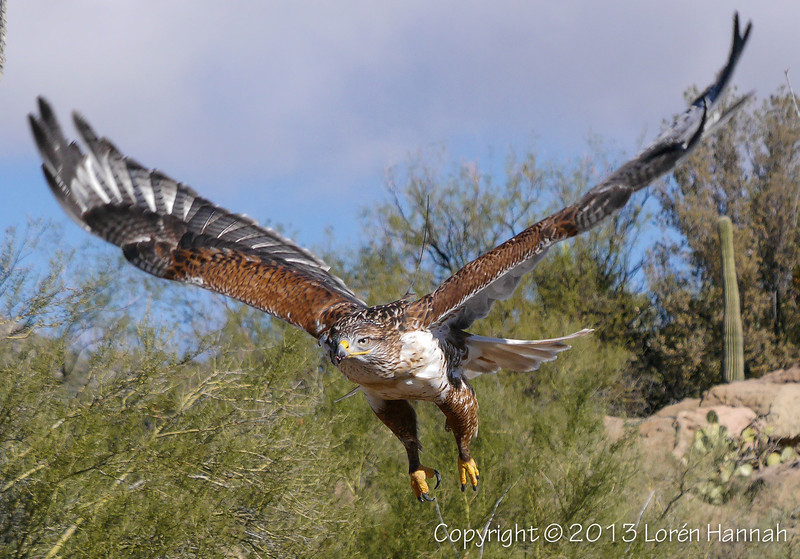 Ferruginous Hawk - ASDM - P1070240