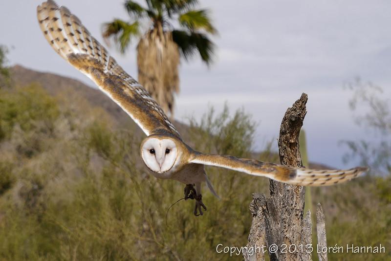 Barn Owl - ASDM - P9850983