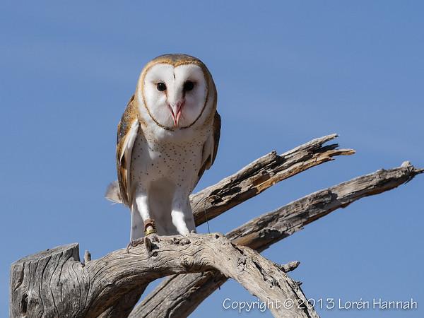 Barn Owl - ASDM - P1050991