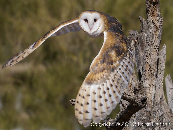 Barn Owl - ASDM - P1050982