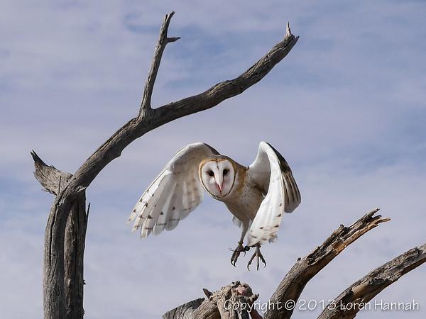 Barn Owl - ASDM - P9860004