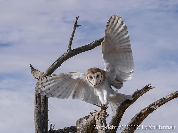 Barn Owl - ASDM - P9860007