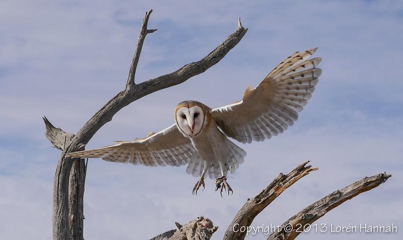 Barn Owl - ASDM - P9860005