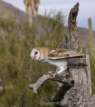 Barn Owl - ASDM - P9850978
