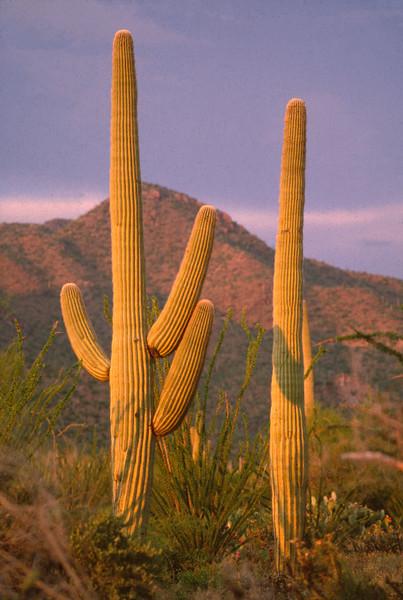 Saguaro Cactus AZ