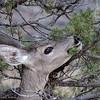White Tail Deer Chirichaua NM