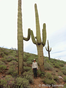 I love these huge Saguaro cactus