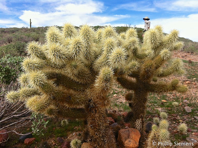 Pretty cholla