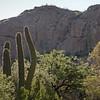 Morning saguaro