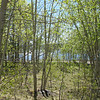 A stand of aspens at Big Lake.