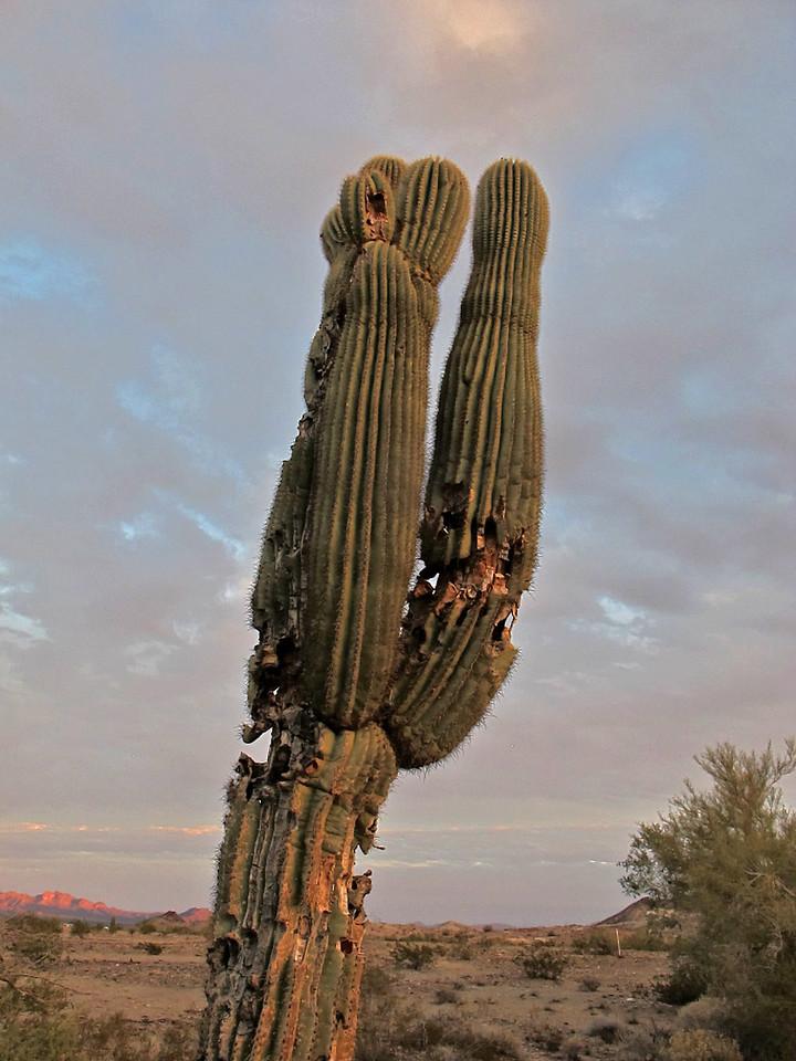 Stately ol' saguaro that has seen healthier days.