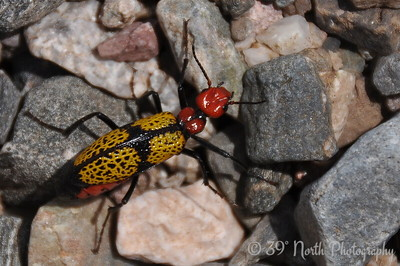 Iron Cross Blister Beetle