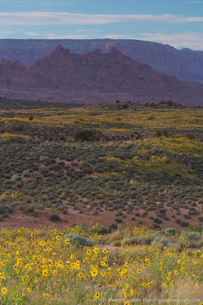 Desert Sunflowers (Geraea canescens)