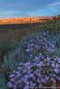 Mojave Aster, (Xylorhiza tortifolia)
